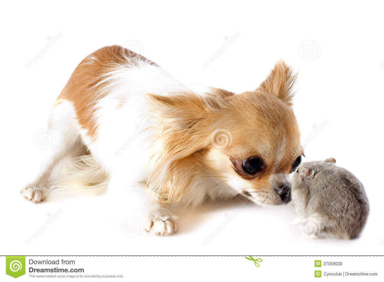Portrait of a cute purebred chihuahua and Djungarian hamster in front ...