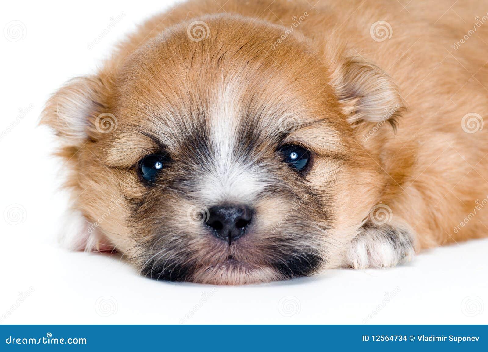 Chihuahua do filhote de cachorro no estúdio