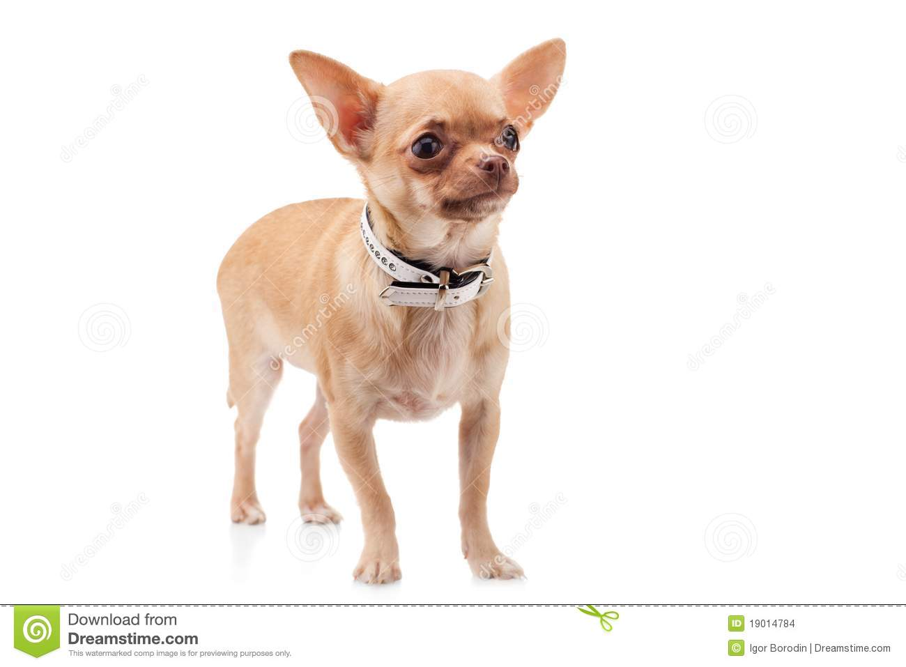 chihuahua dog clipart - photo #37