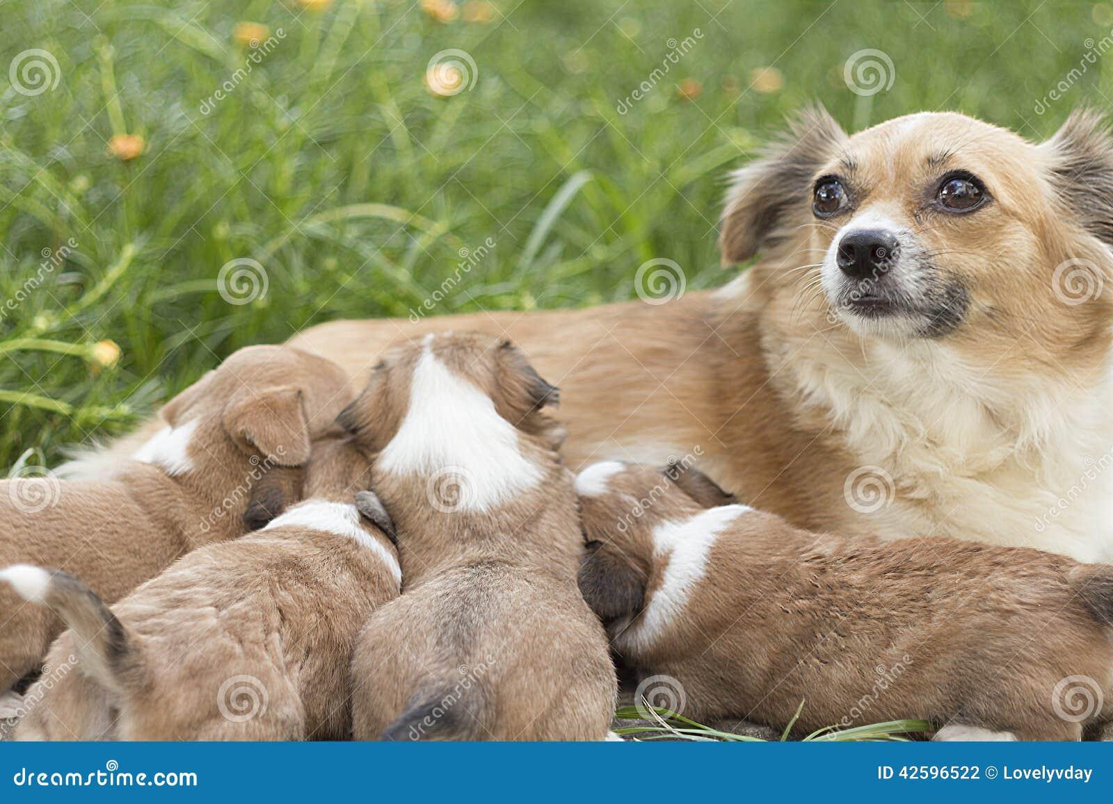 Chihuahua Dog Baby Eat Milk. Stock Photo - Image: 42596522