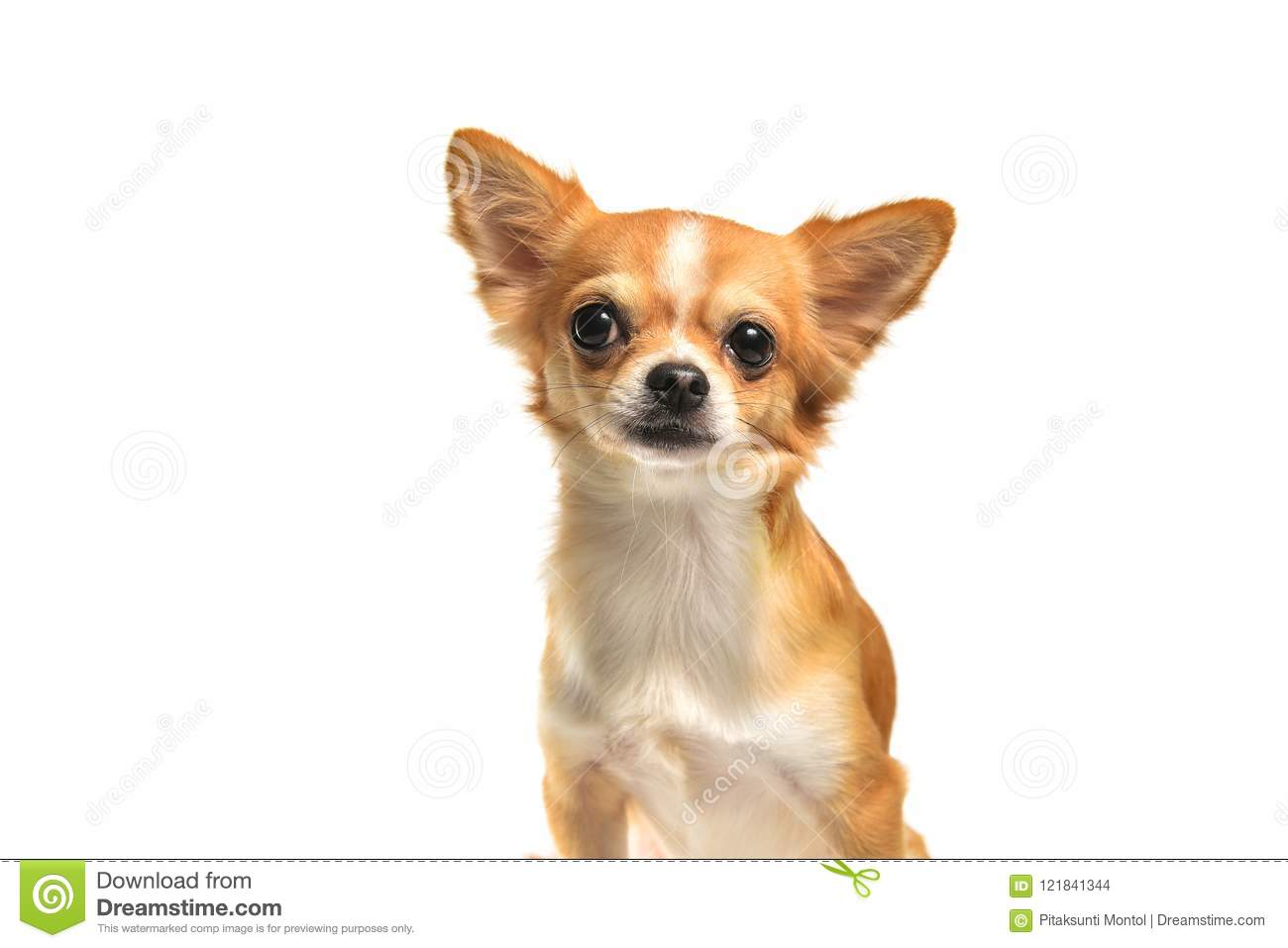 Chihuahua dog Brown on white background