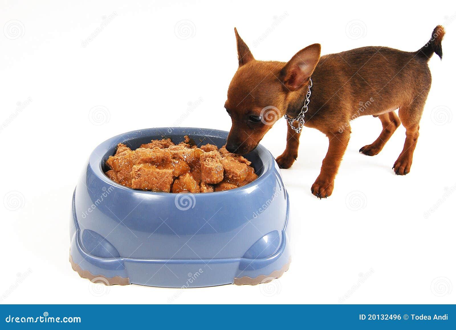Как и чем кормить щенка чихуахуа: советы по питанию и рецепты