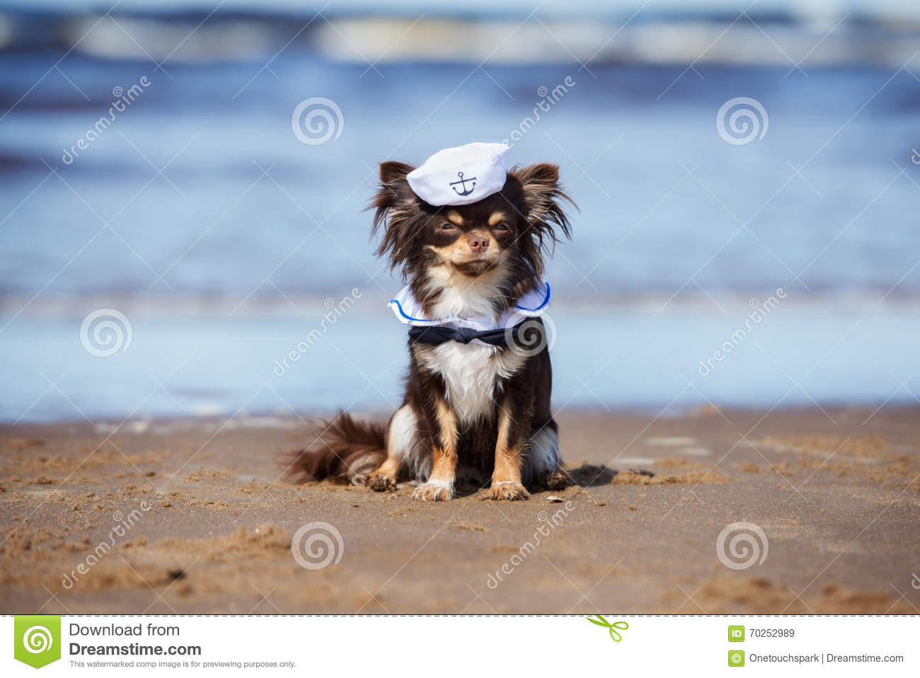 Chihuahua Dog In A Sailor Hat Sitting