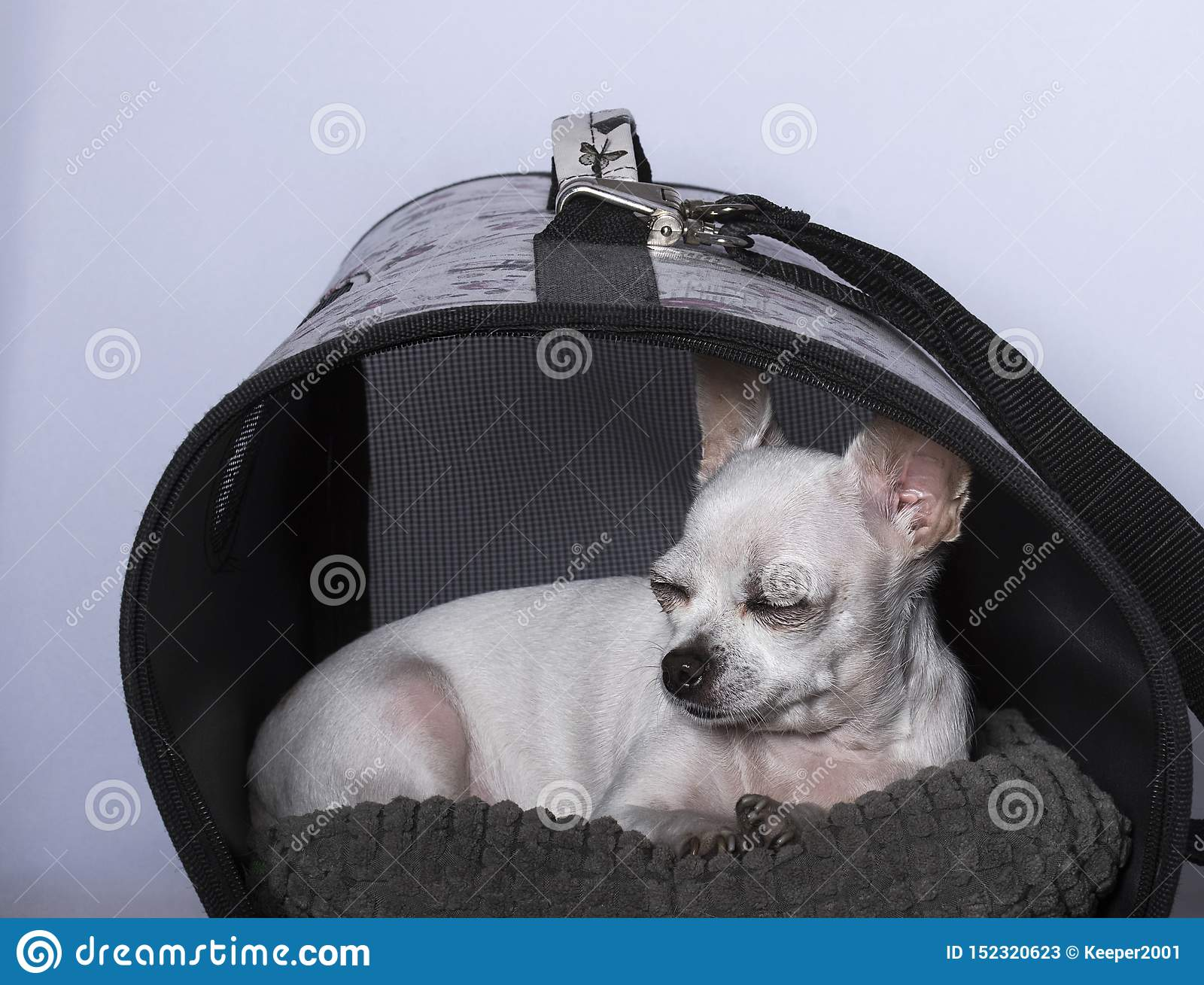 Chihuahua dog sleeping in the booth