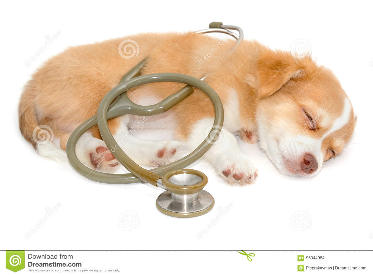 Chihuahua dog sleeping with stethoscope