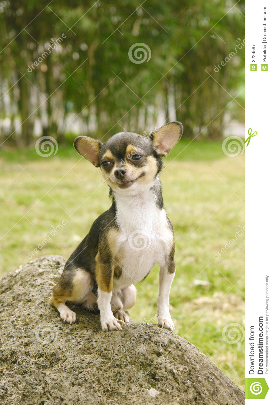 Brown And White Dog Chihuahua Dog Smiling ...