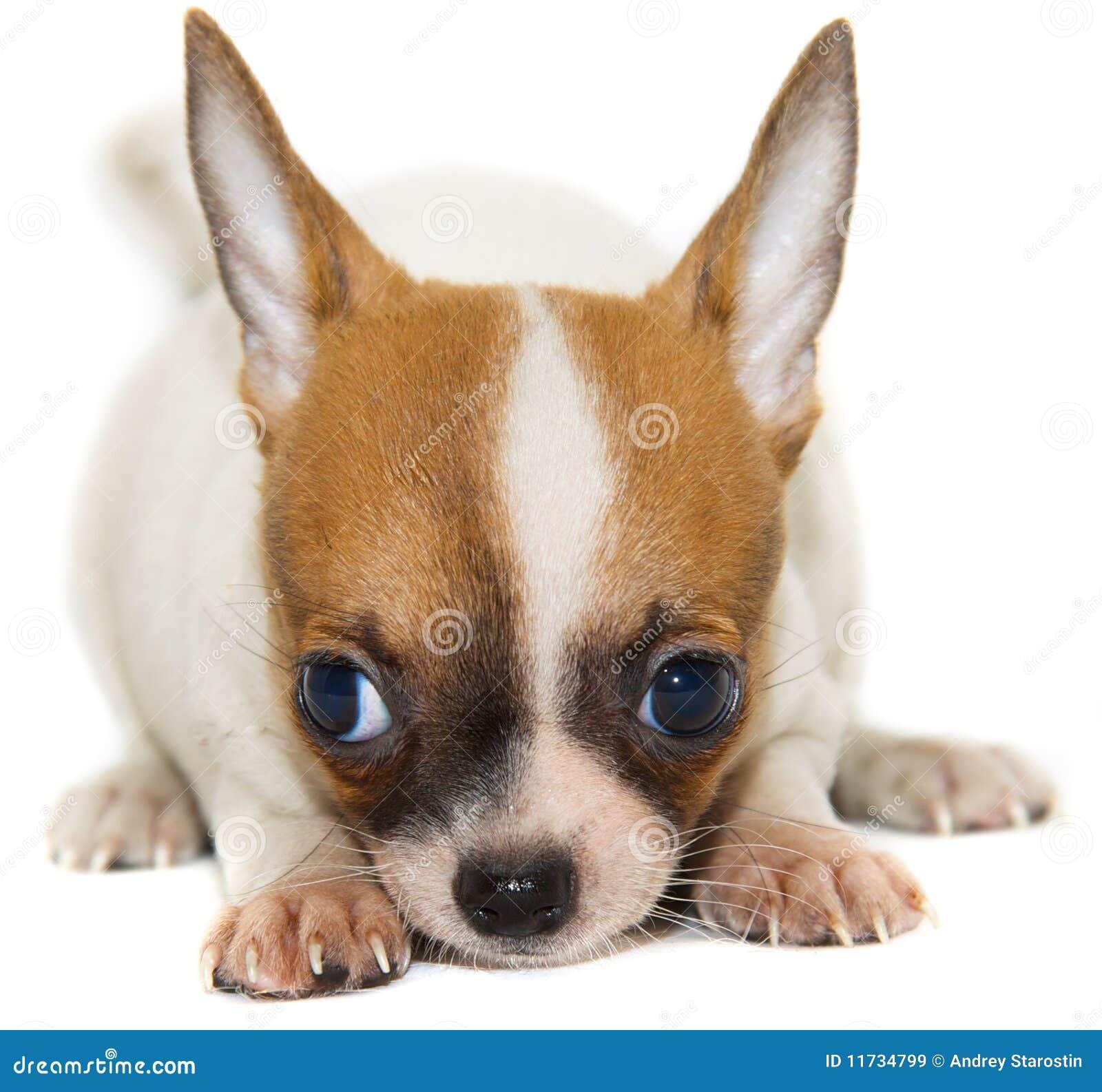 dog chihuahua background - photo #49