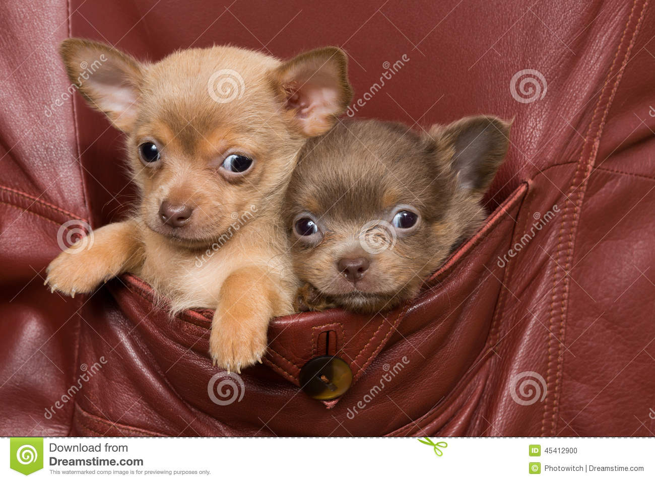 Chihuahua baby stock photo dog breeds picture