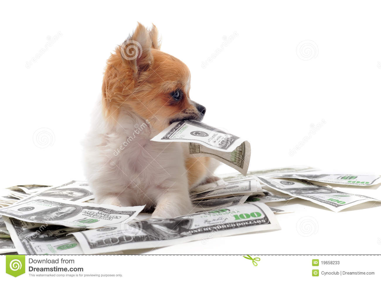 Chihuahua and dollars stock image  Image of finance