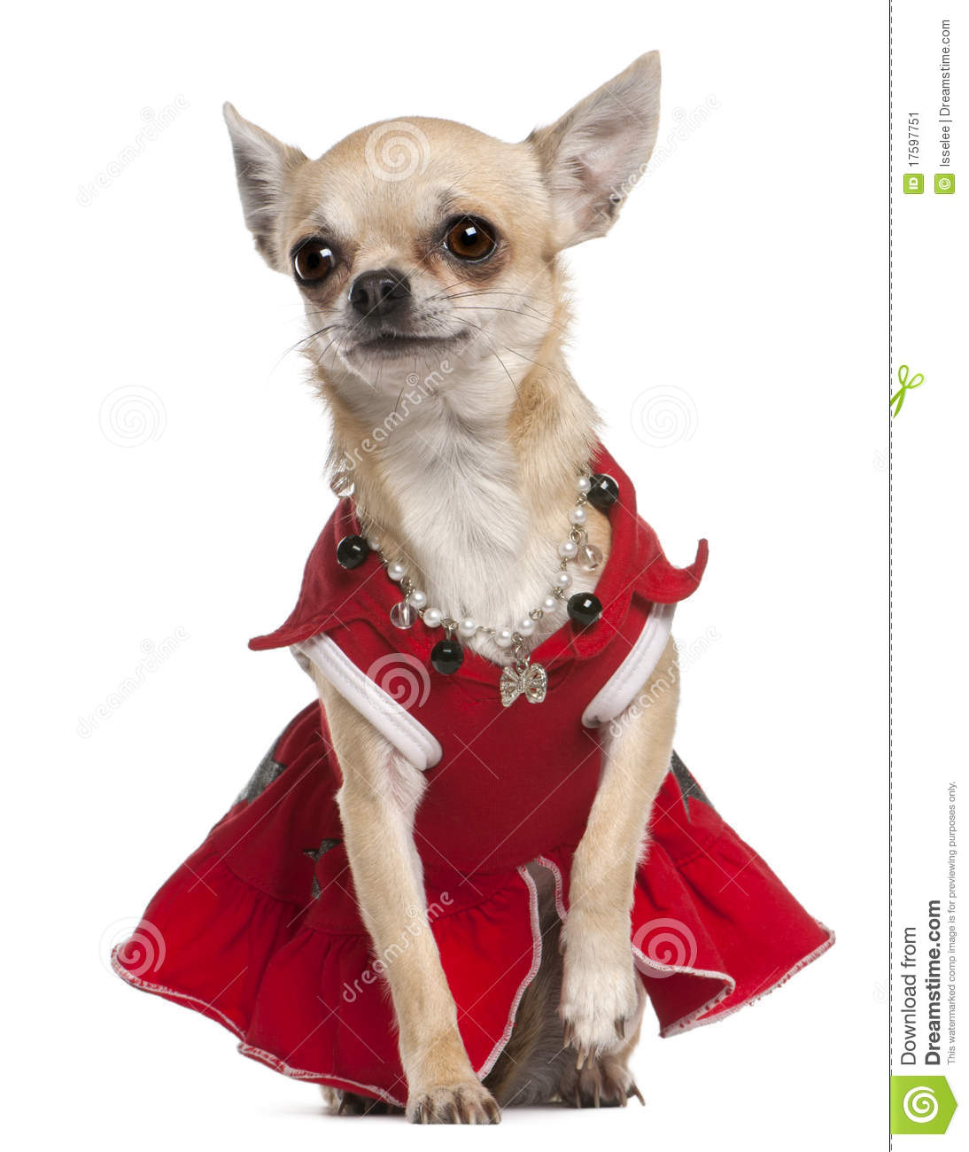 Chihuahua dressed in red dress and necklace sitting in front of white