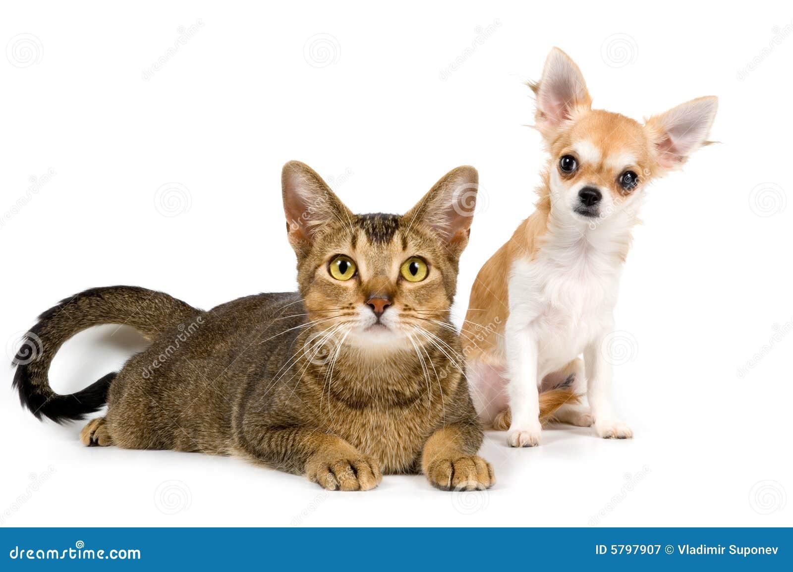 A chihuahua e o gato do filhote de cachorro no estúdio