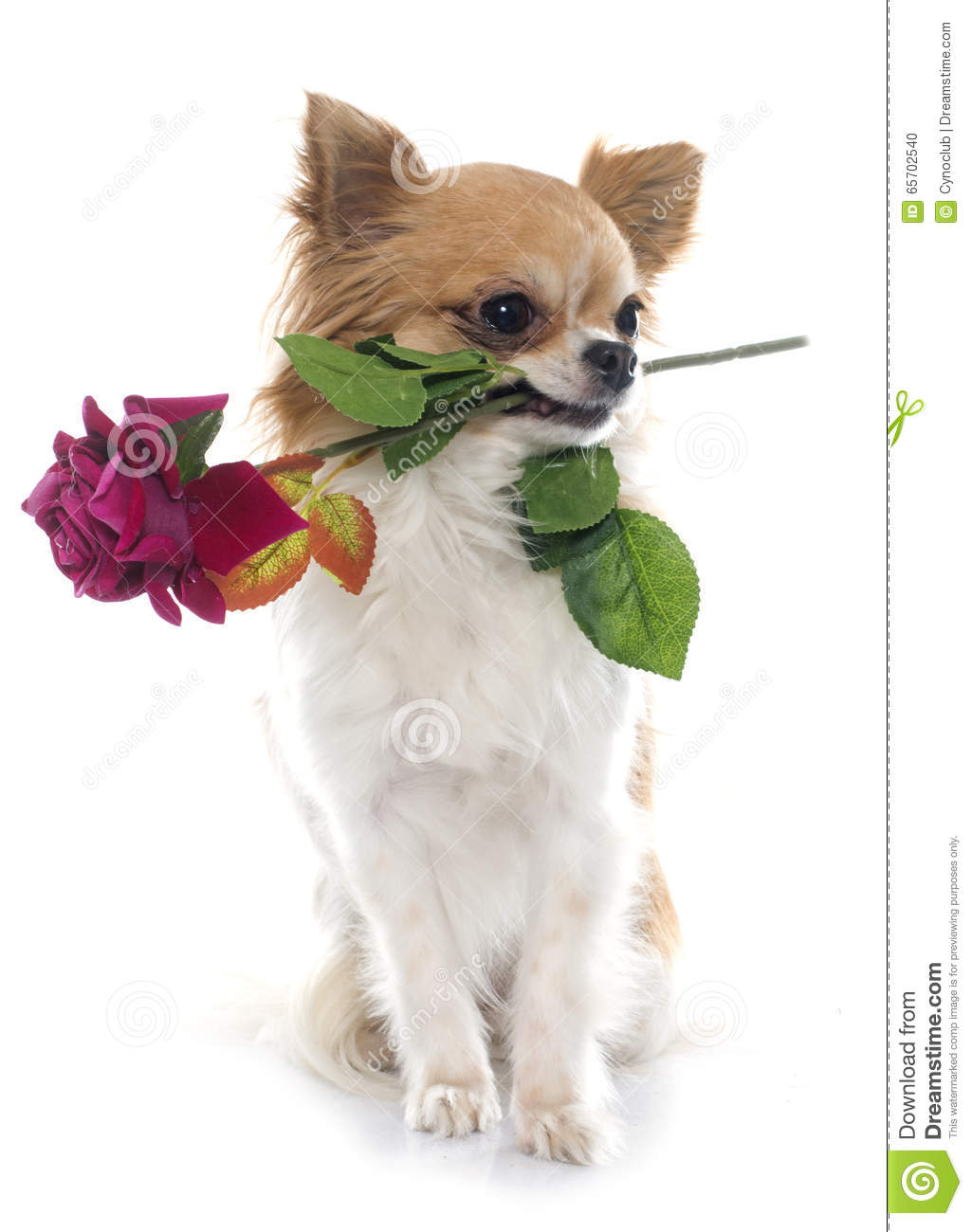 Cute Chihuahua Dog Pictures
