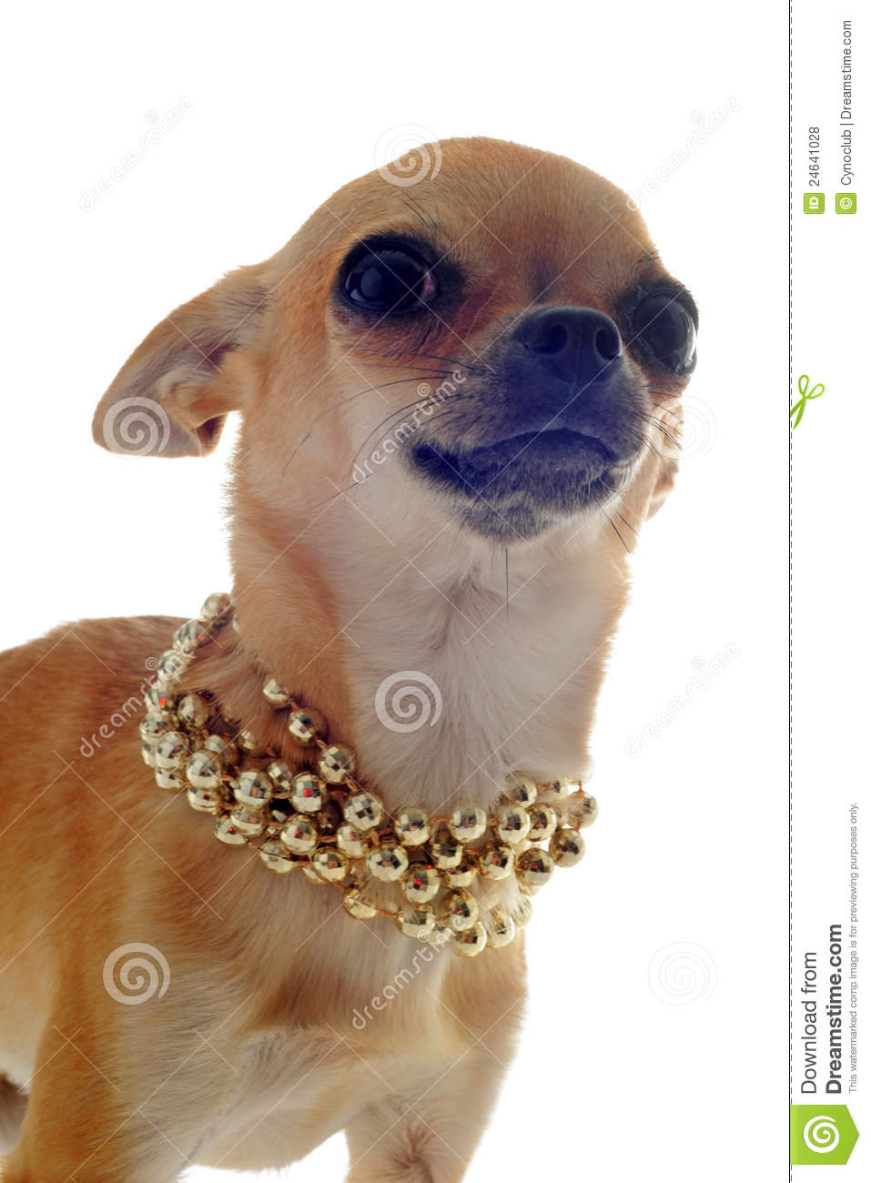 Chihuahua With Gold Collar Stock Photo Image Of Beautiful