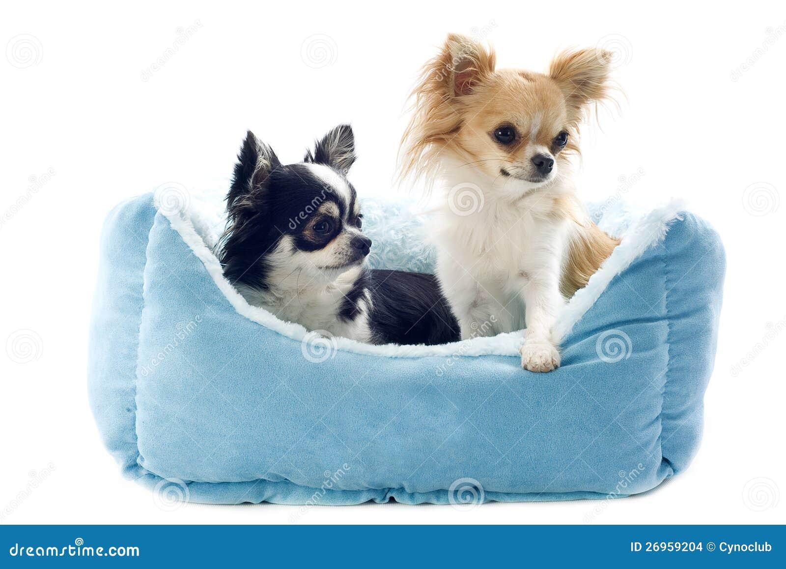 Chihuahua I Psa łóżko Zdjęcie Stock Obraz Złożonej Z