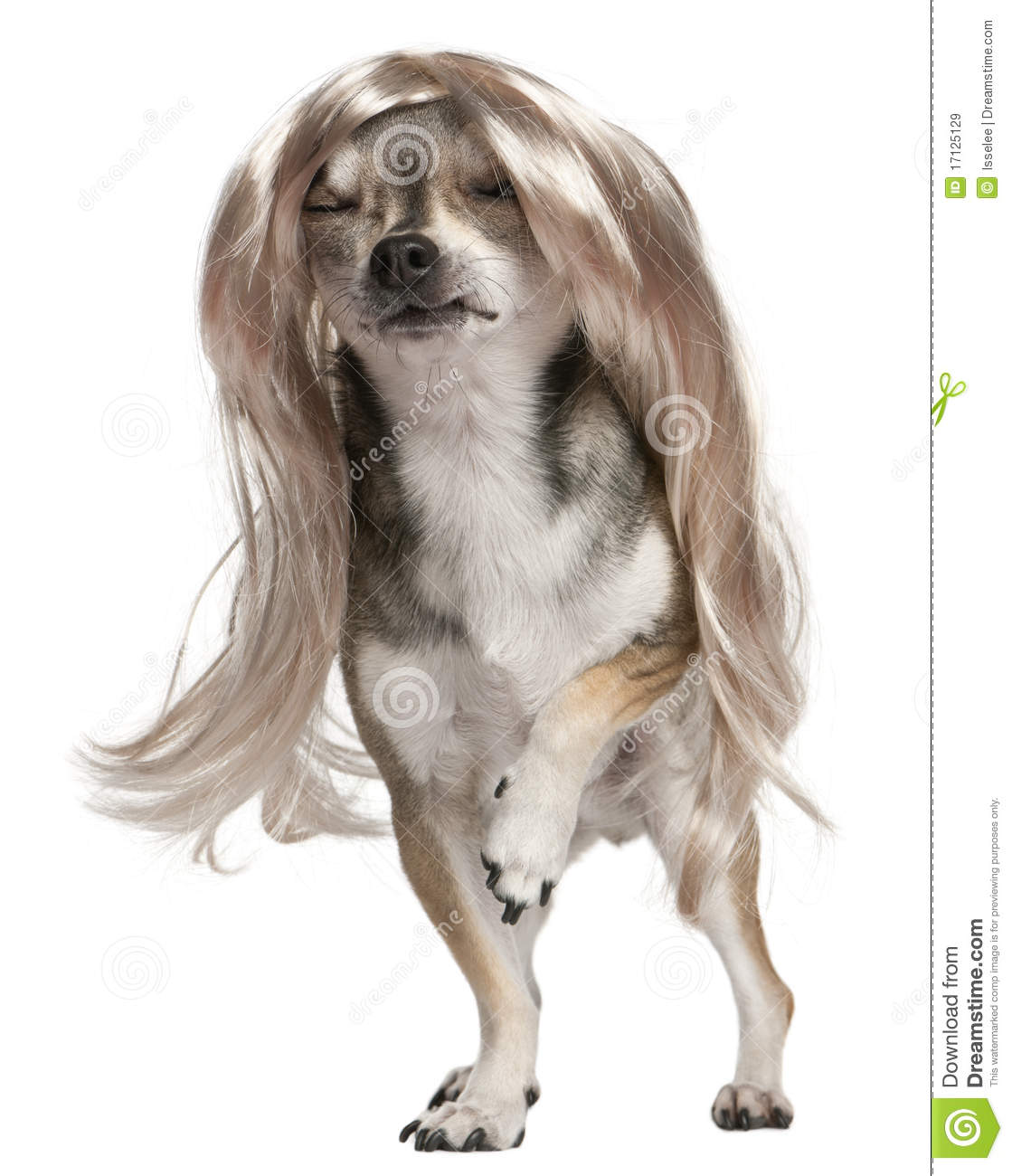 Styles For Long Haired Chihuahua   newhairstylesformen2014.com
