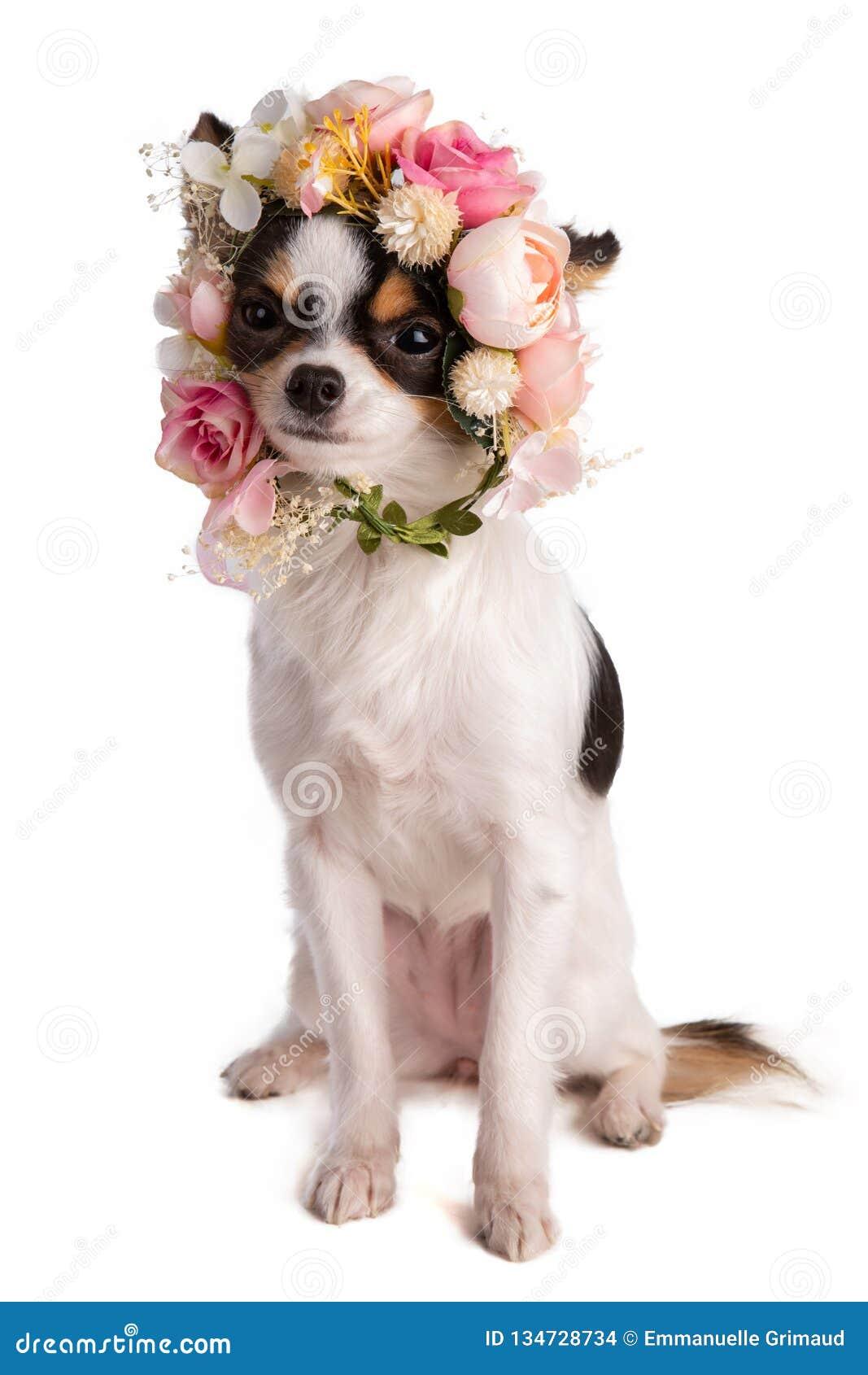 Chihuahua mit einem Blumenkranz an