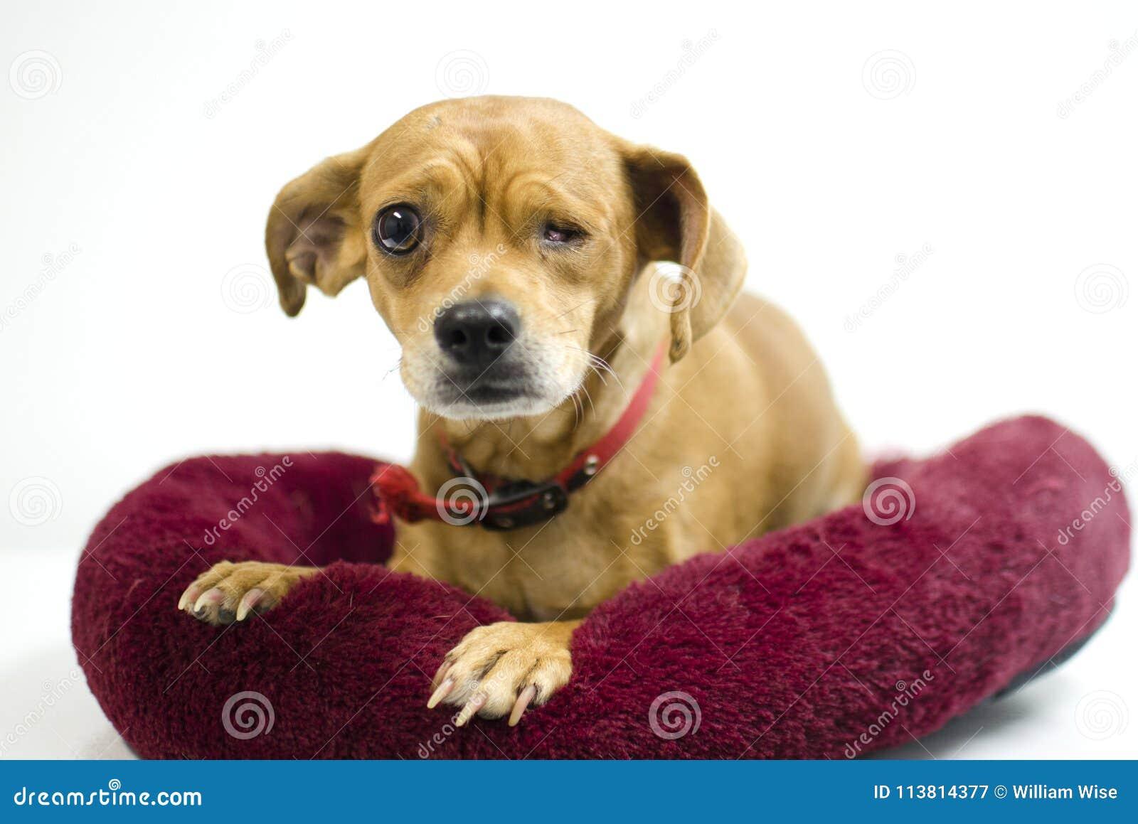 Chihuahua Mix Dog Missing One Eye, Animal Shelter Adoption