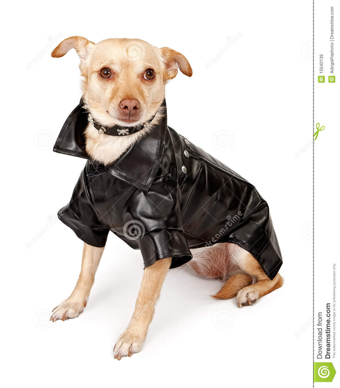 Chihuahua Mix Dog Wearing Black Leather Jacket