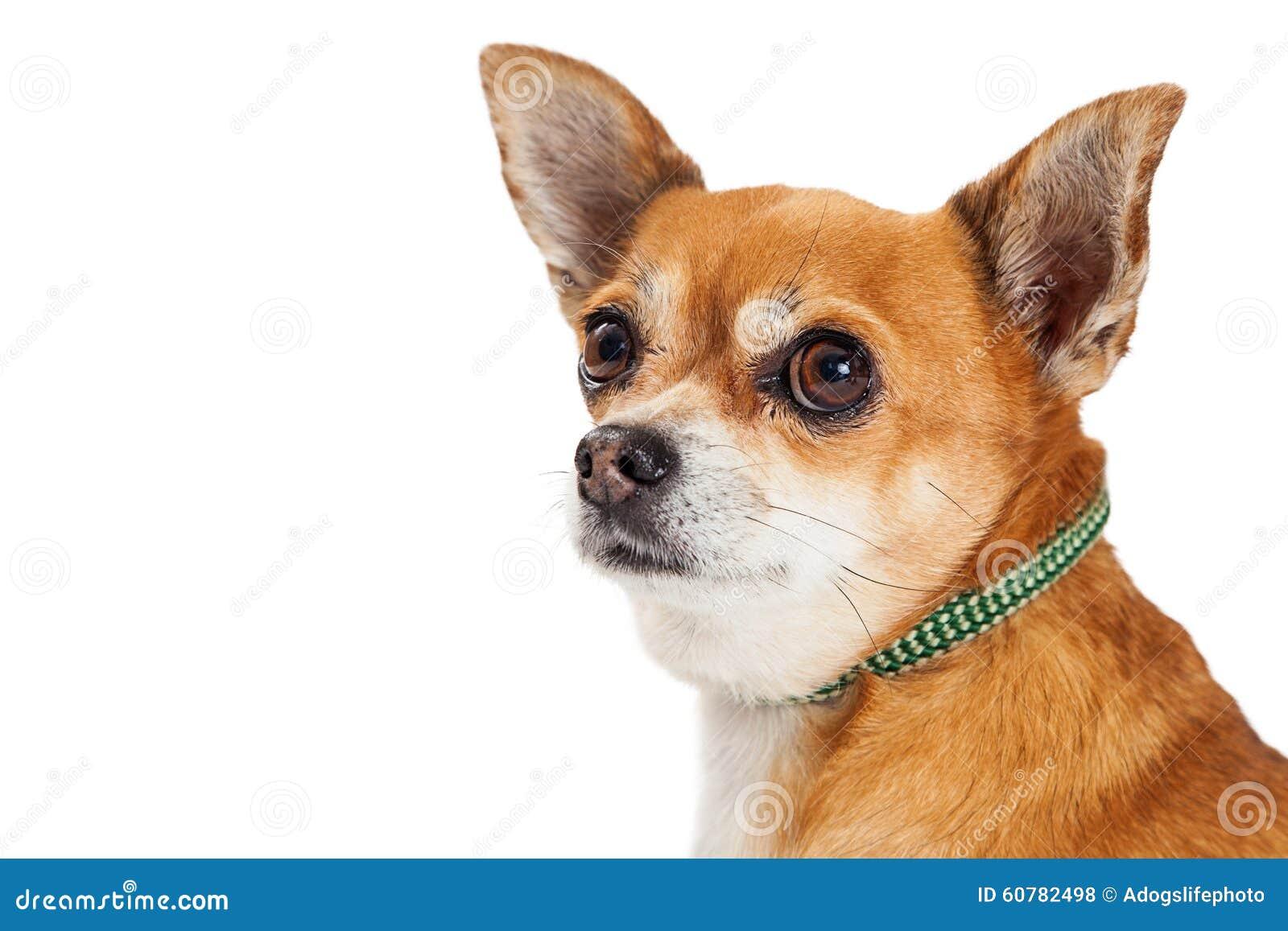 Chihuahua Mixed Breed Dog Profile Closeup Stock Photo ...