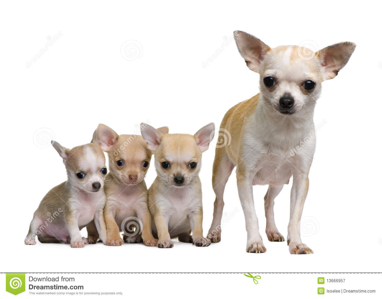 Chihuahua Mother And Her 3 Puppies 8 Weeks Old Stock Image Image