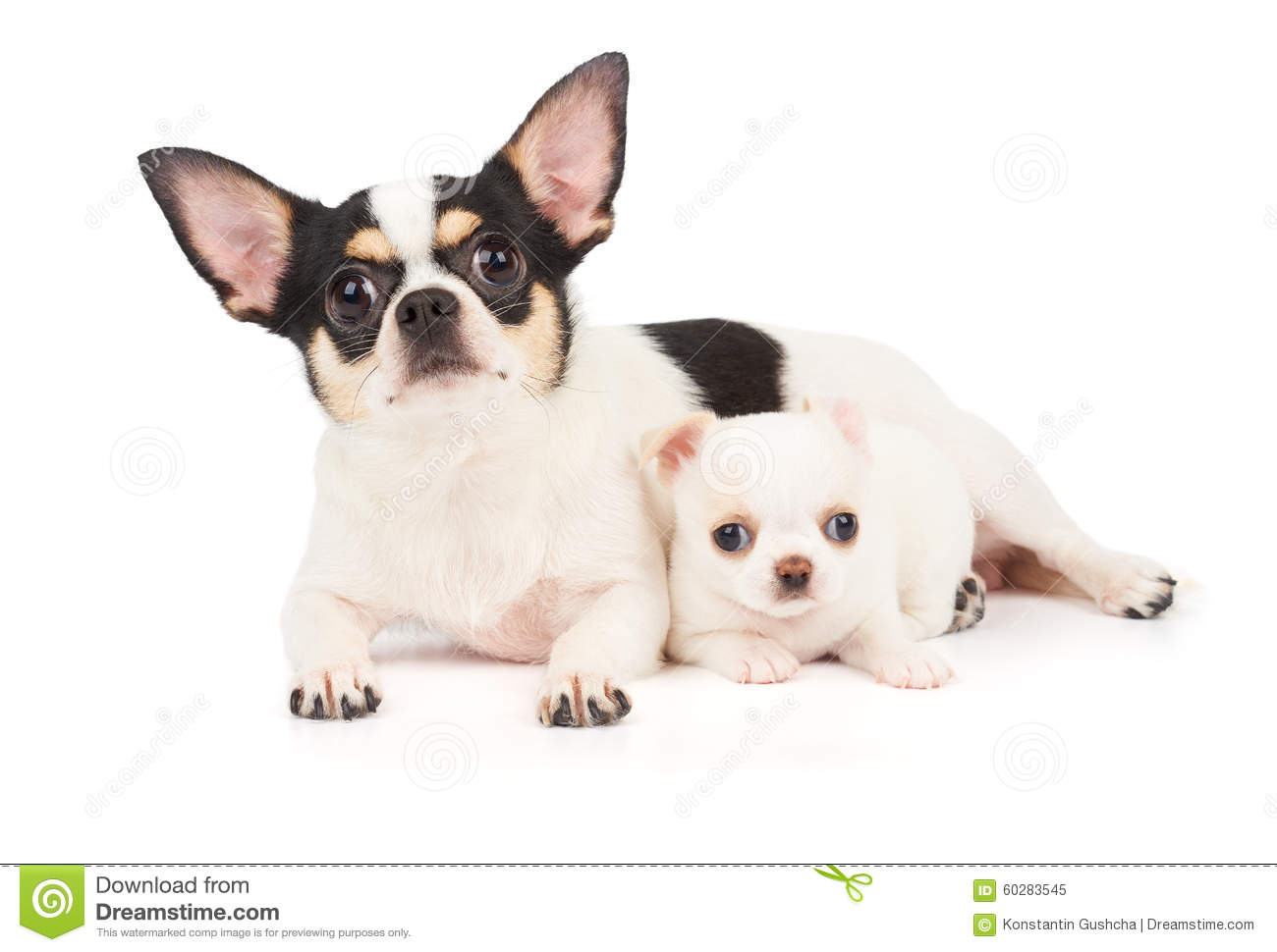 Chihuahua Mother And Its Puppy Stock Photo - Image: 60283545