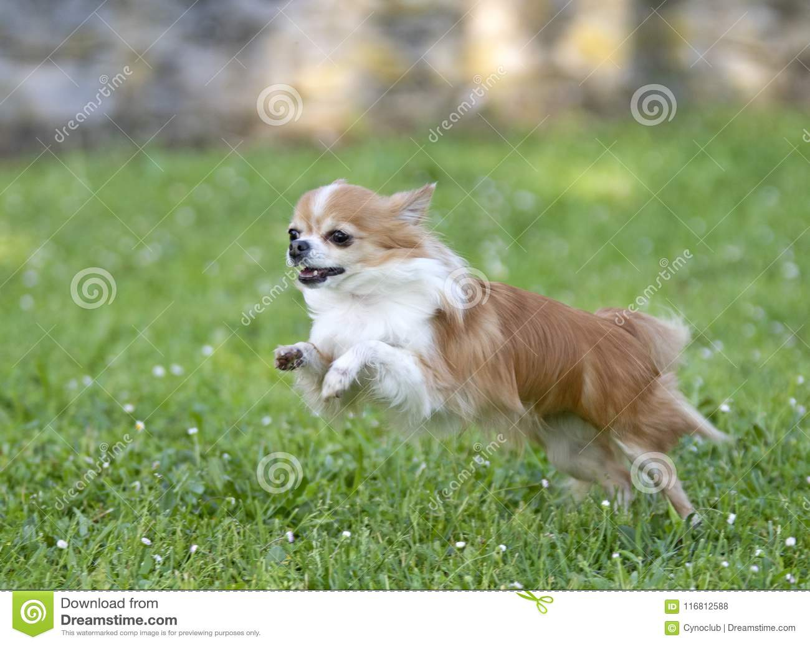 Chihuahua in natura