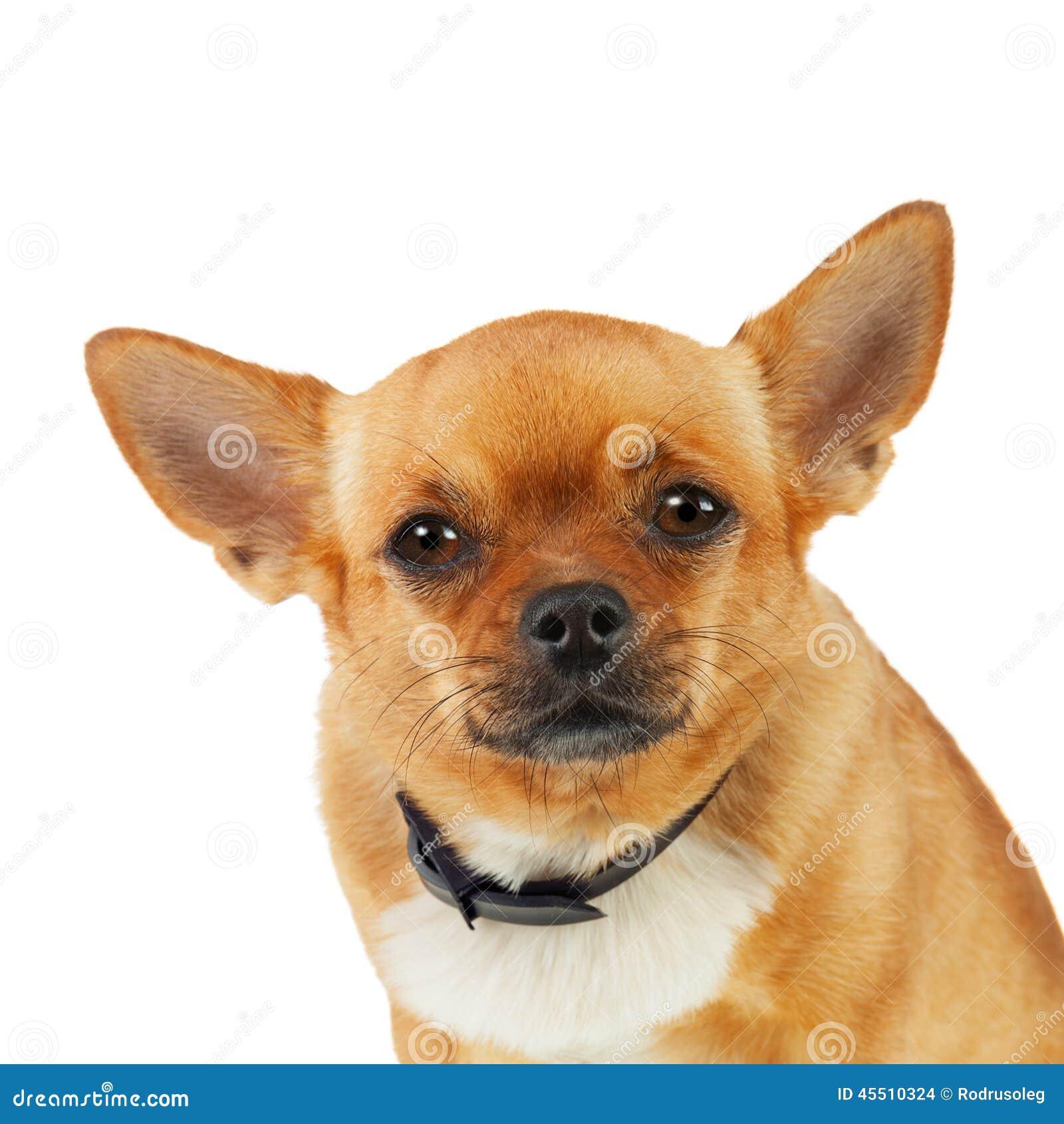 Chihuahua pies w Antym pchła kołnierzu Odizolowywającym na Białym tle