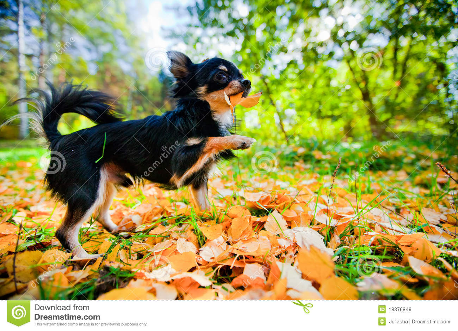 Chihuahua psa park