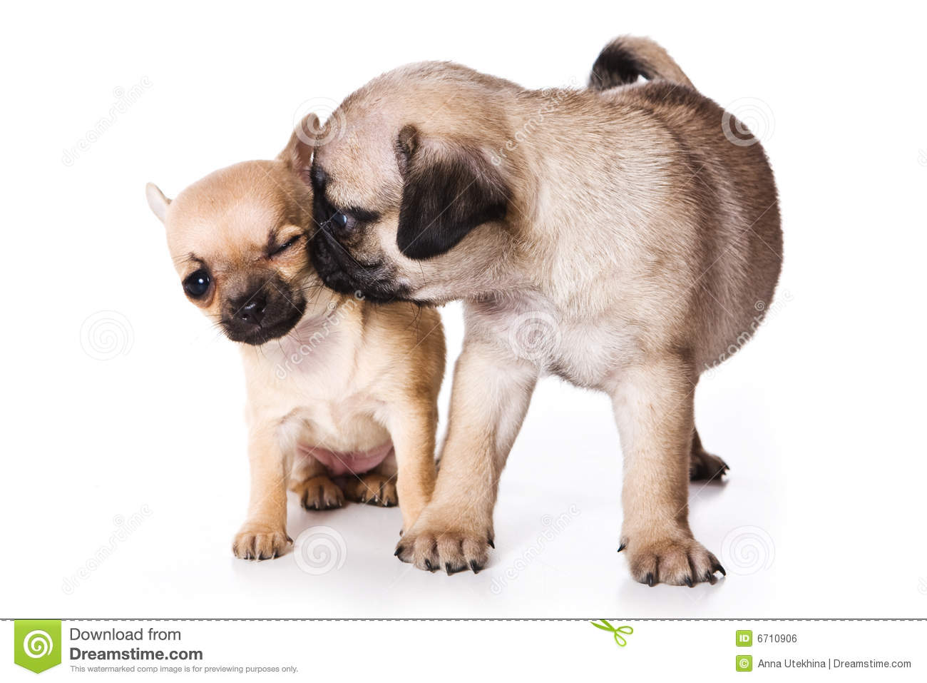 Chihuahua and pug puppies