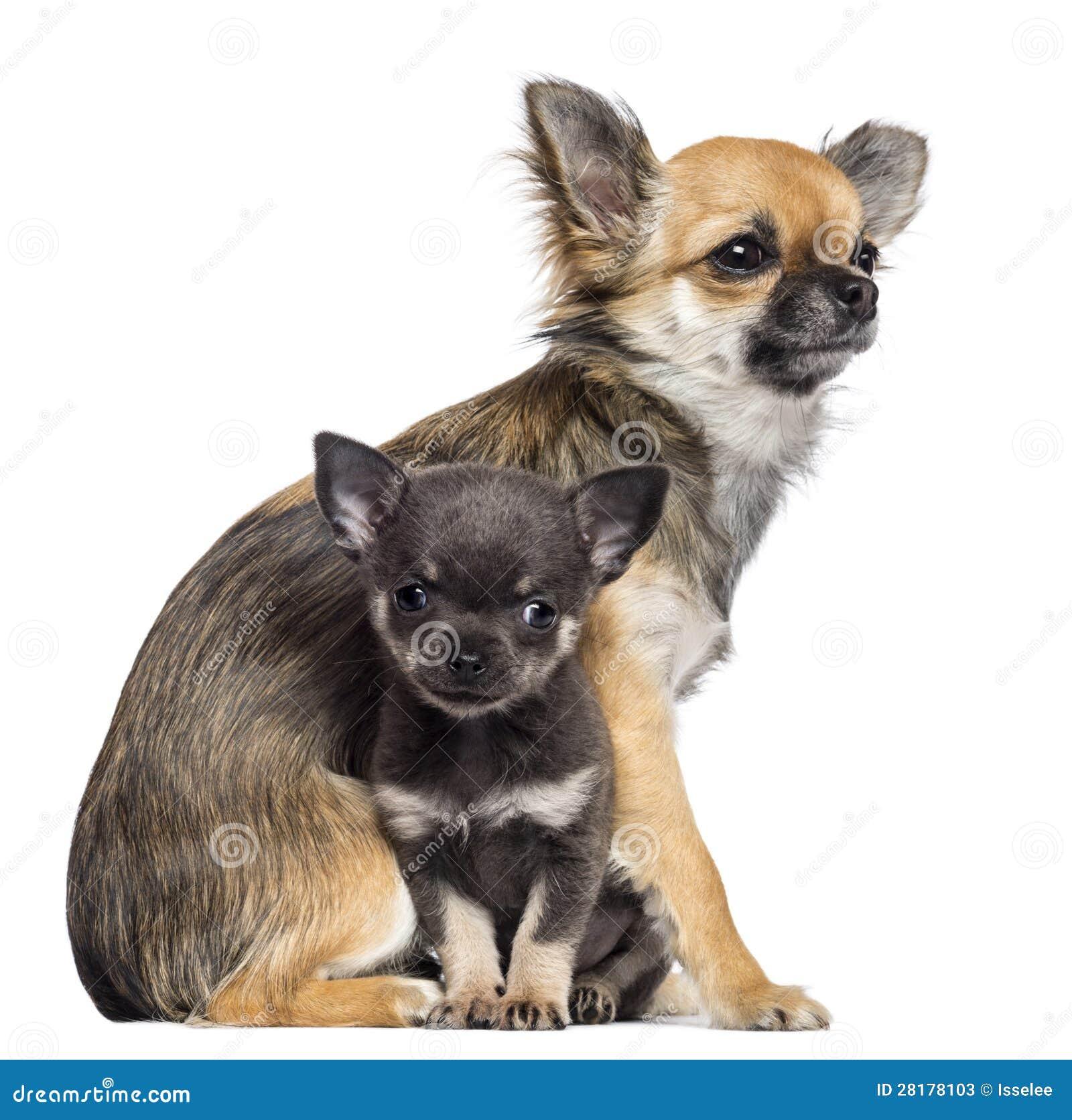 Chihuahua 9 Months Chihuahua Puppies, 9 M...