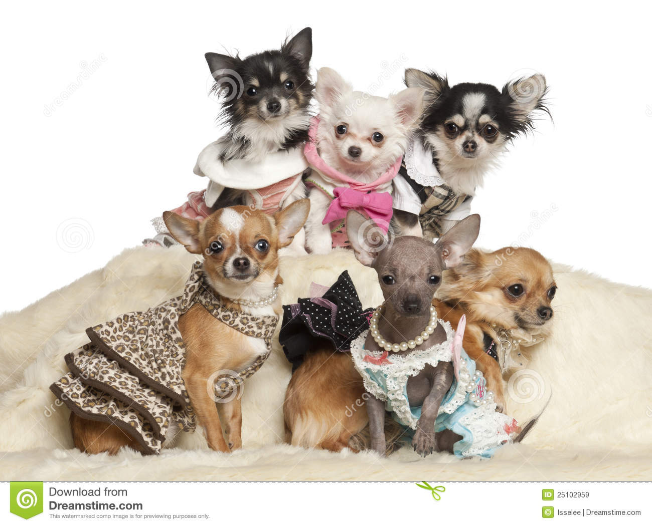Chihuahua Puppies And Adults In Clothing Sitting Royalty Free Stock ...