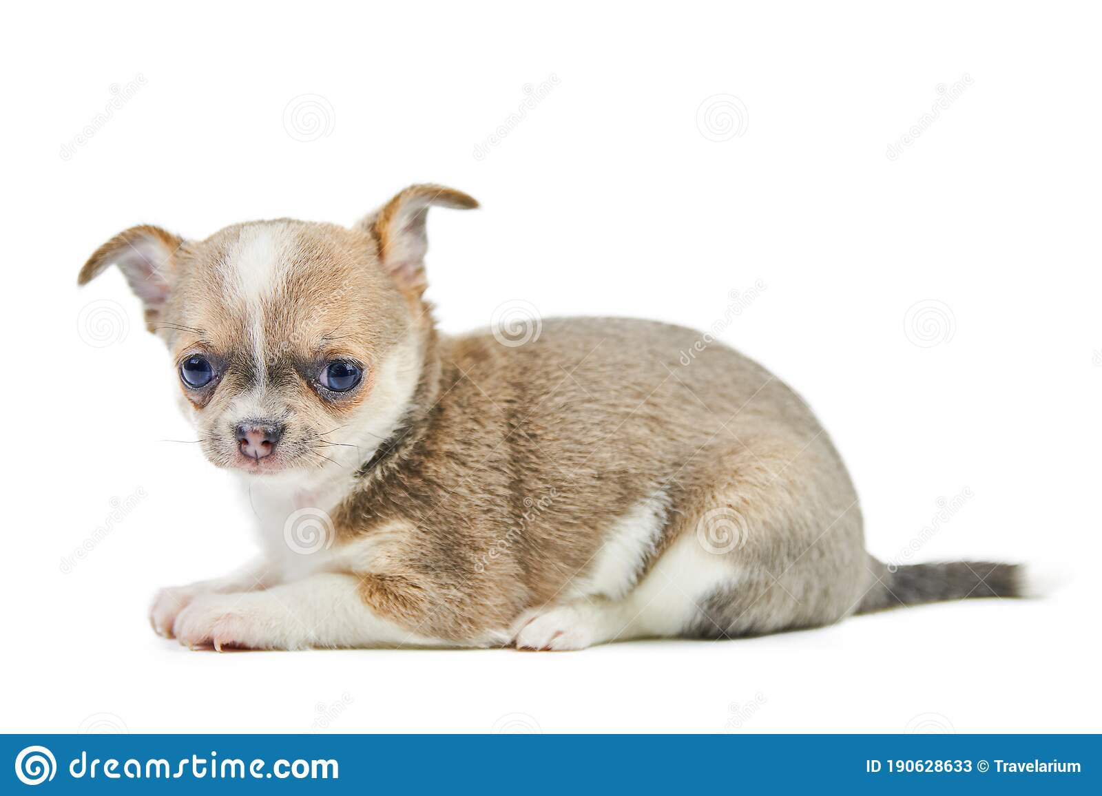 Chihuahua Puppies Isolated Stock Image Image Of Doggy Puppy 190628633
