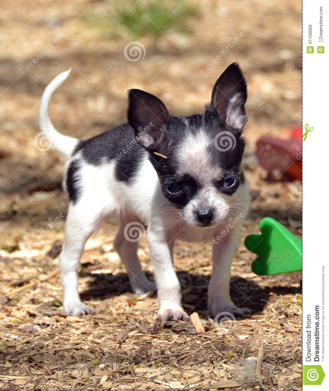 spotted chihuahua chihuahua puppies 194 stock photo image 41156669 6475