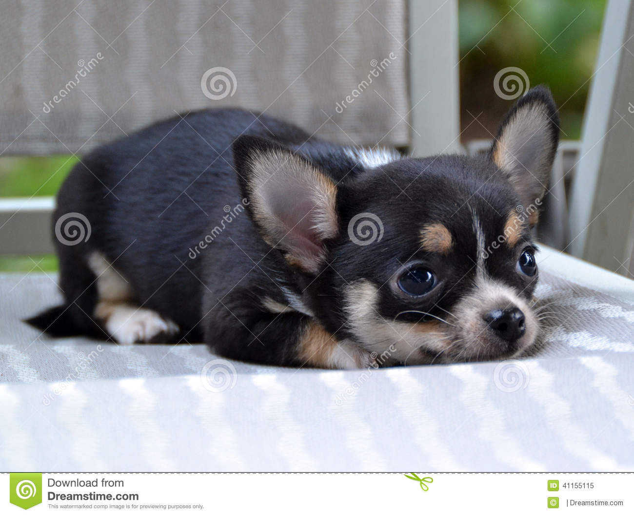 Chihuahua Puppies Stock Image Image Of Soft Tricolor 41155115