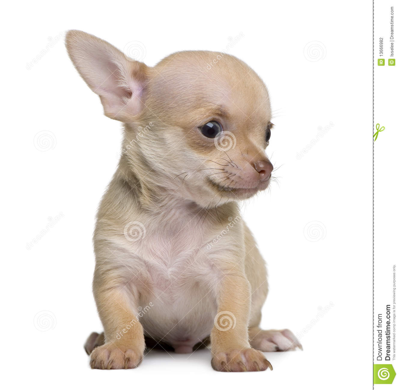 Chihuahua Puppy 8 Weeks Old