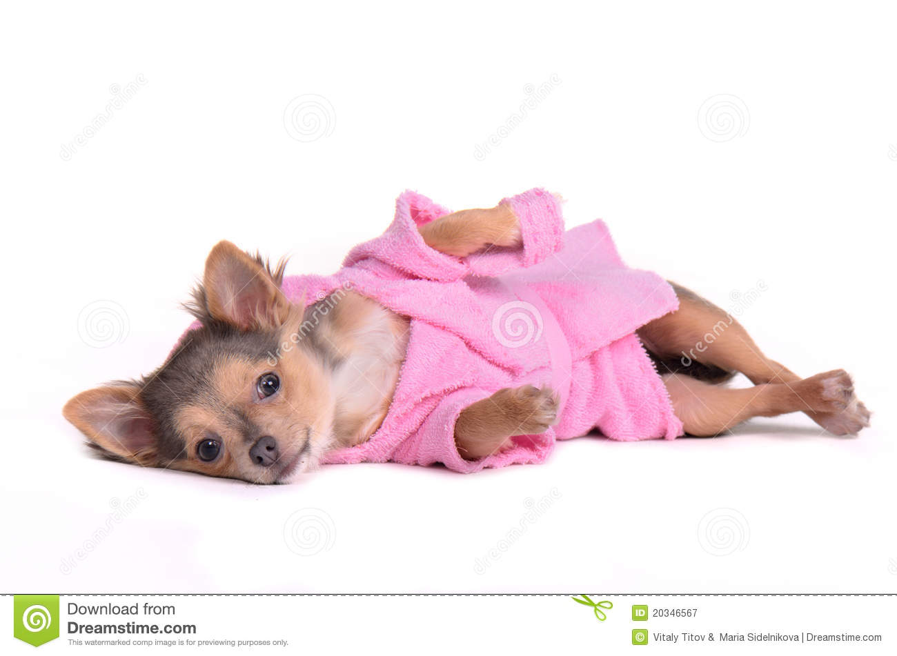 Chihuahua puppy after the bath wearing bathrobe