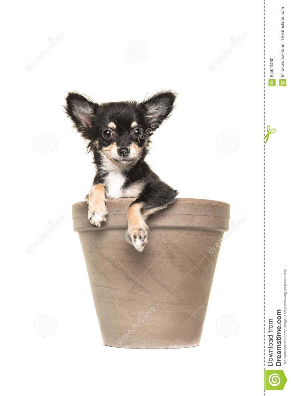 Chihuahua puppy in a brown flower pot