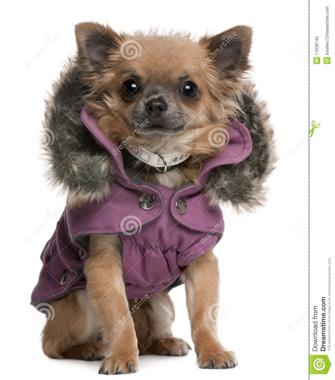 Chihuahua puppy dressed in purple hooded coat stock photo image 17038740