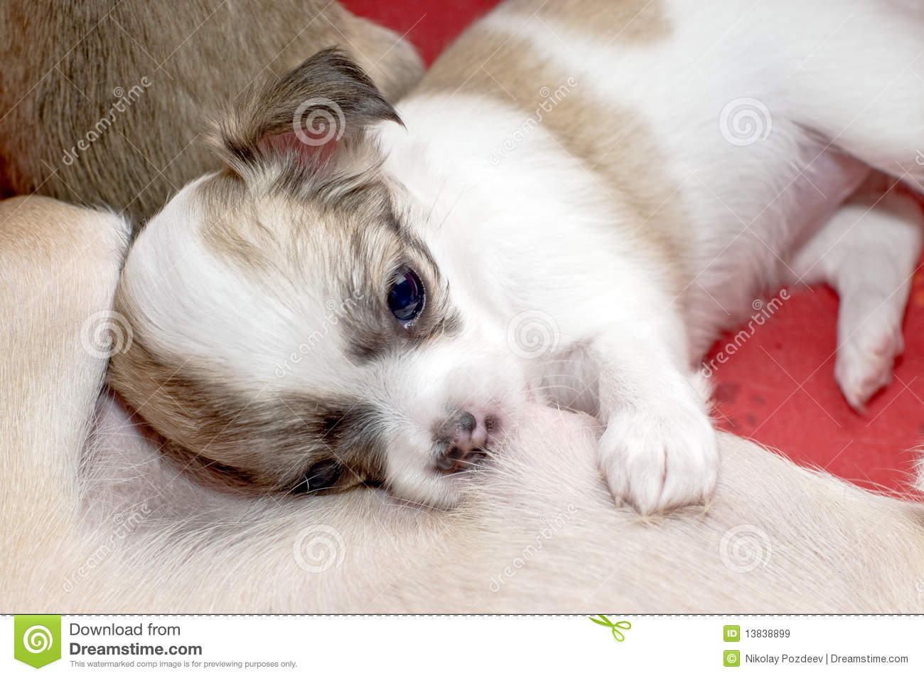 Chihuahua Puppy Eating Mother's Milk Royalty Free Stock ...