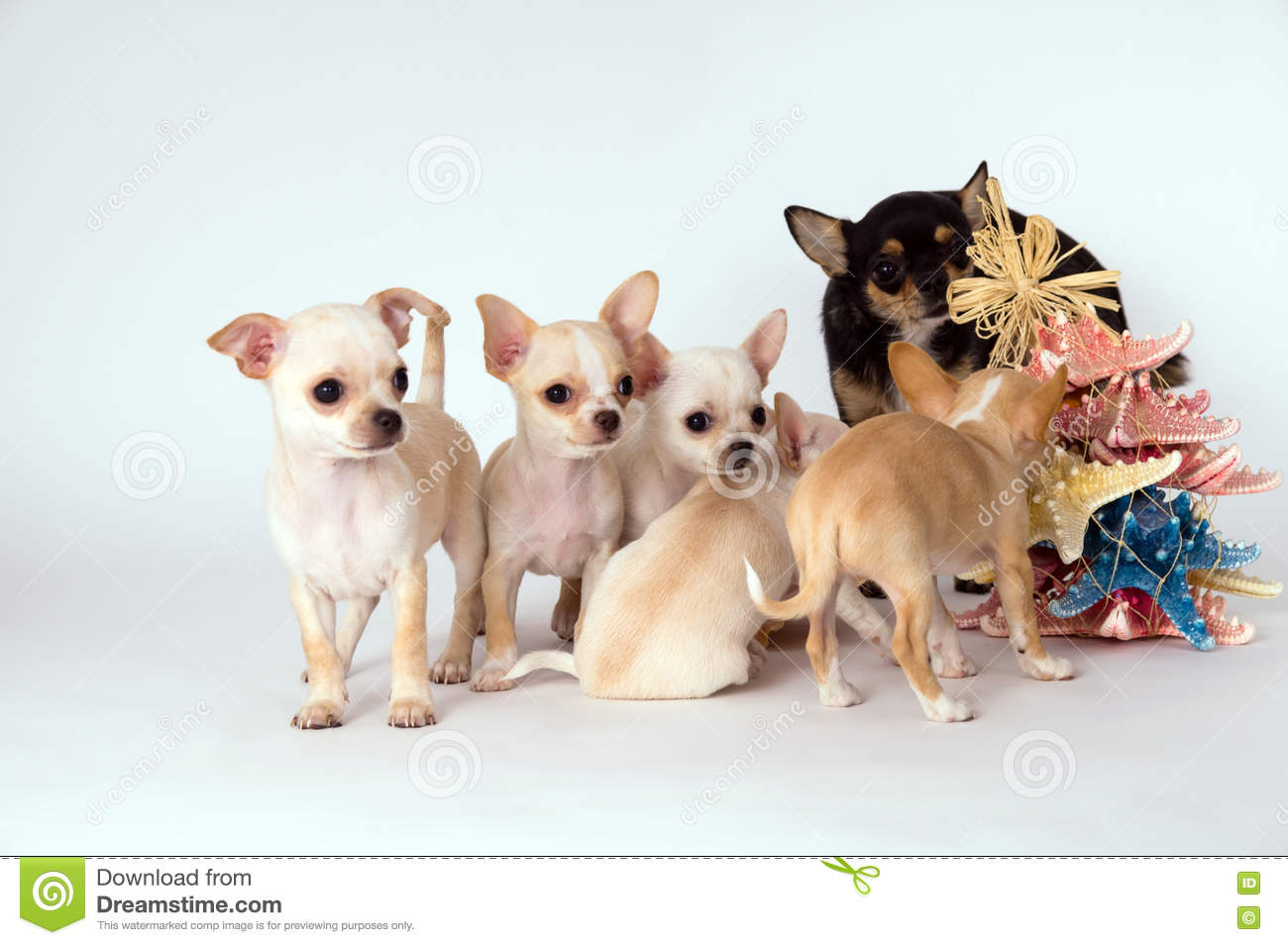Chihuahua Puppy Is With Her Mother Stock Image Image Of Long Pedigreed 72720171