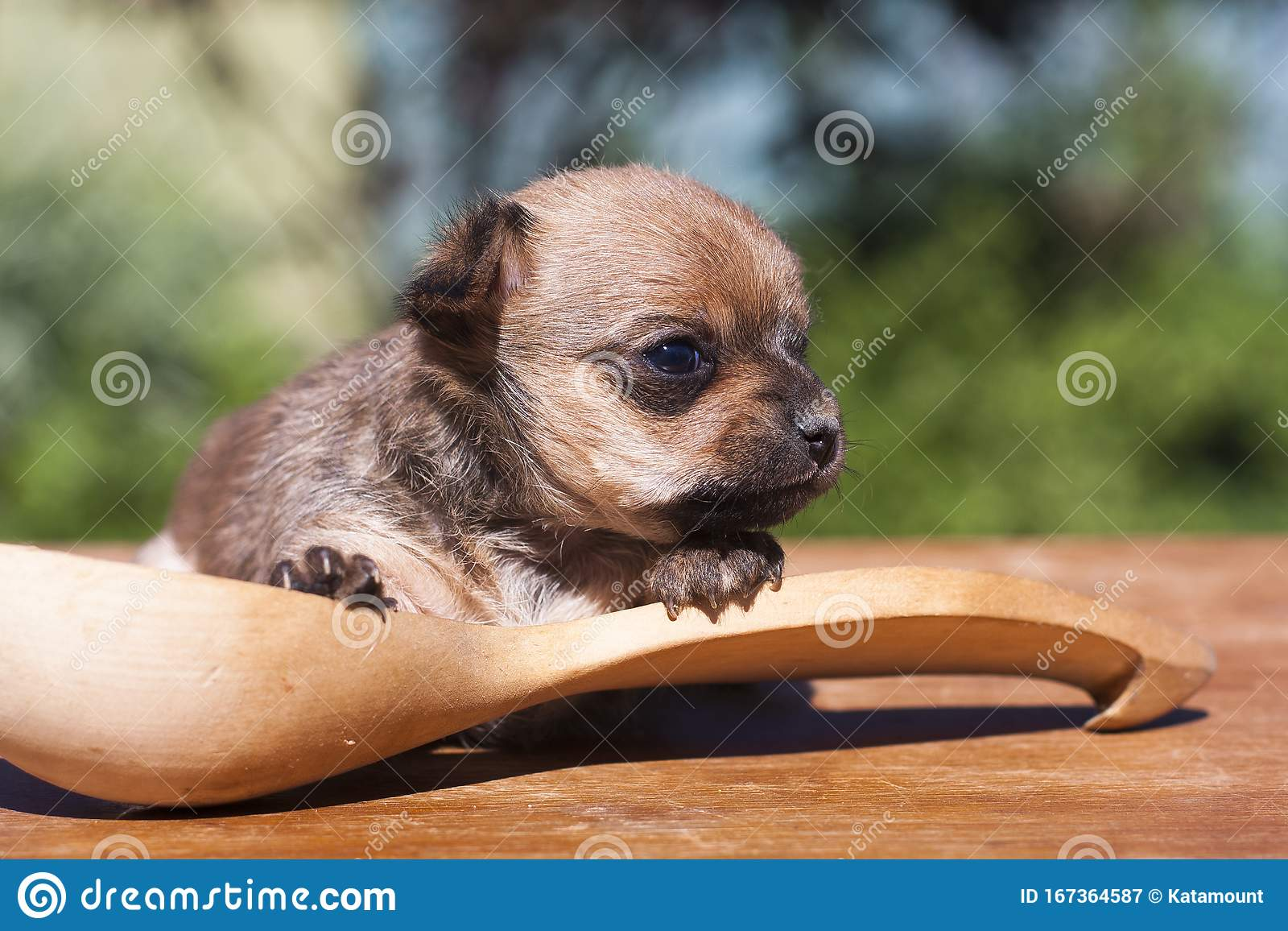 Chihuahua Puppy In A Large Wooden Spoon Stock Image Image Of Looks Green 167364587