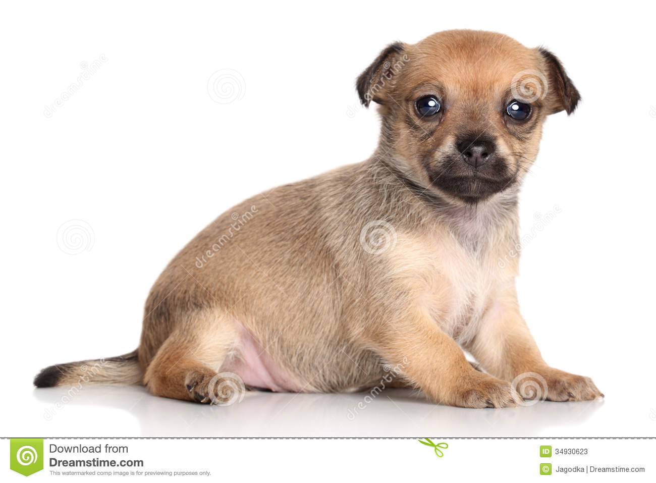 Chihuahua Puppy (one Month) Stock Photos - Image: 34930623