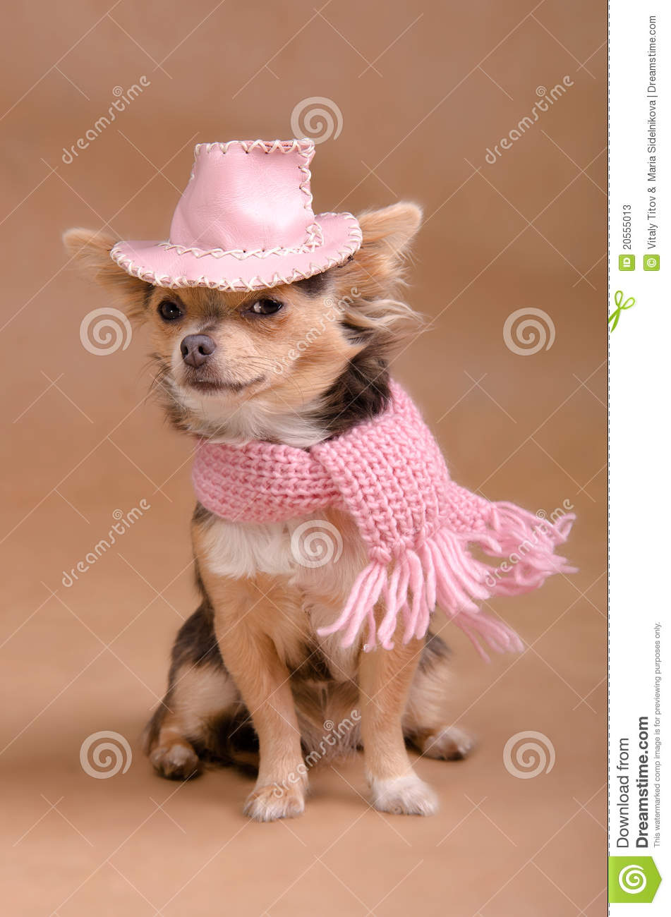 6ac6694fa3940 Chihuahua Puppy With Pink Hat And Scarf Stock Image - Image of ...