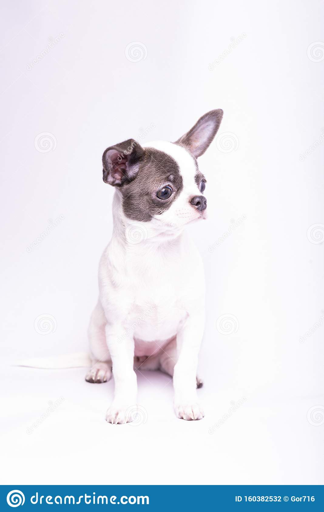 Chihuahua Puppy Studio Photography Of Small Dogs 2019 Stock Photo Image Of Canine Puppies 160382532