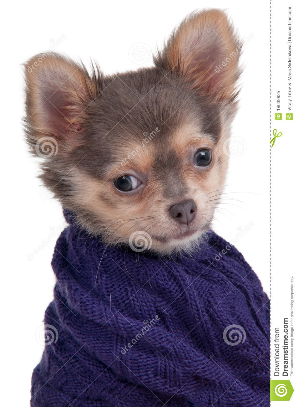 chihuahua puppy with warm sweater isolated royalty free stock photo image 18039625. Black Bedroom Furniture Sets. Home Design Ideas