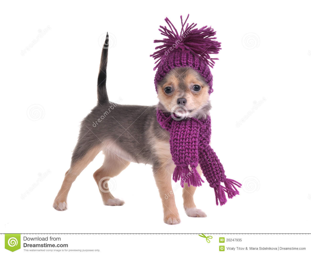 61df568e73b90 Chihuahua Puppy Wearing Hat And Scarf Stock Image - Image of ...
