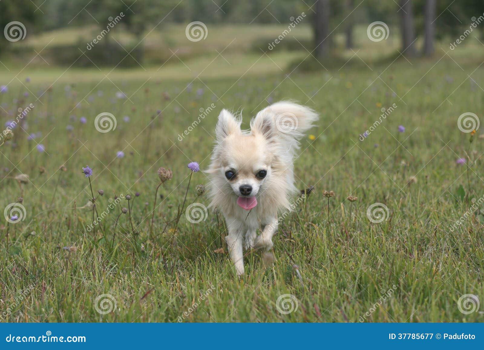 Chihuahua que camina afuera en hierba
