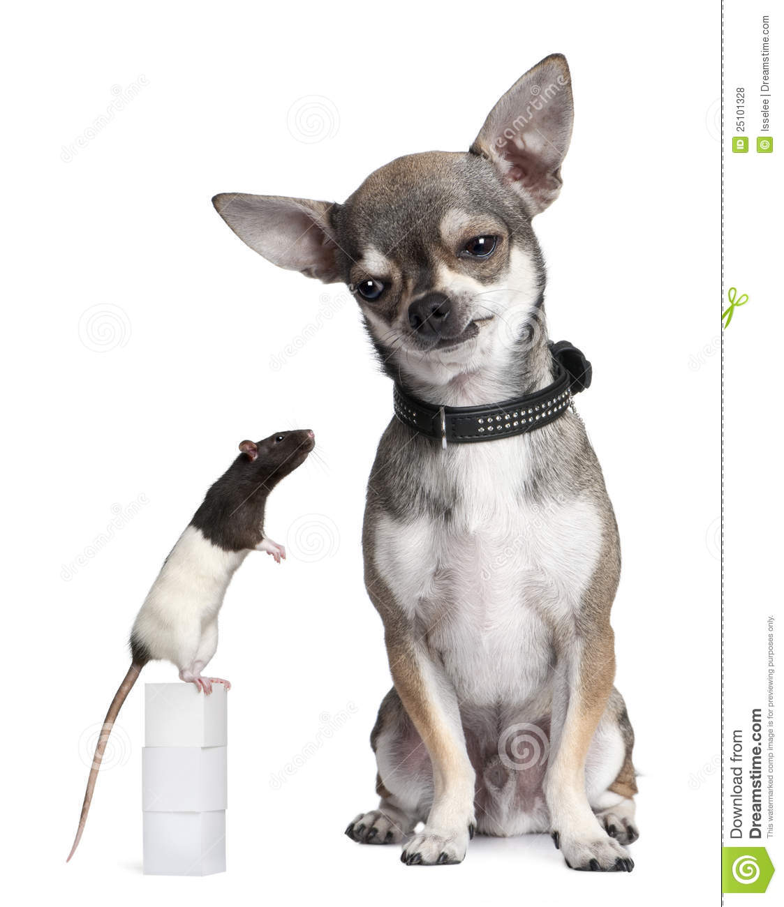 Chihuahua And A Rat Sitting Stock Photo - Image: 25101328
