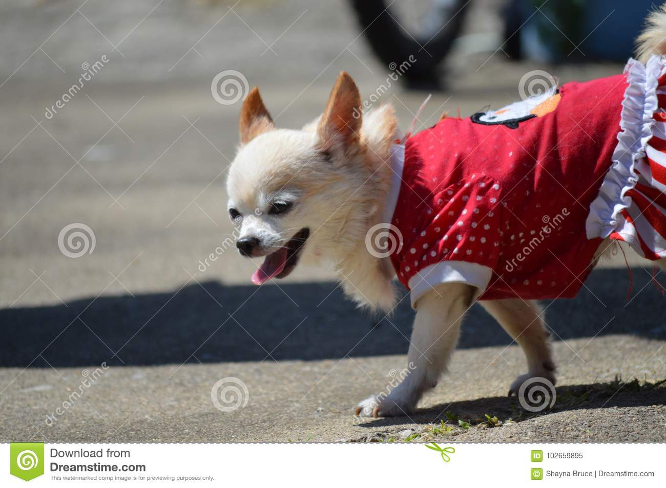 Chihuahua in Red Dress stock image  Image of chihuahua