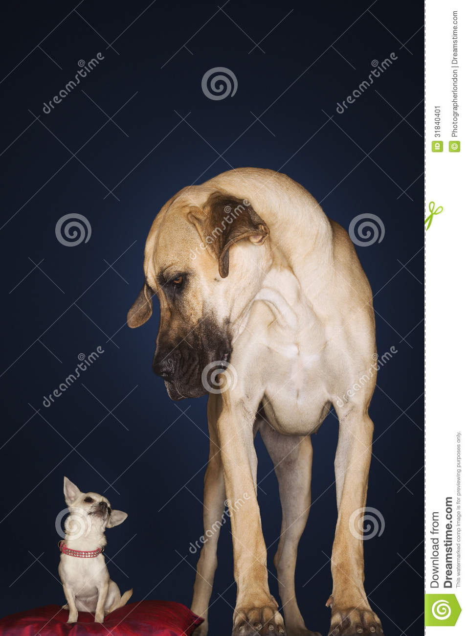 Chihuahua On Red Pillow With Great Dane Standing Alongside